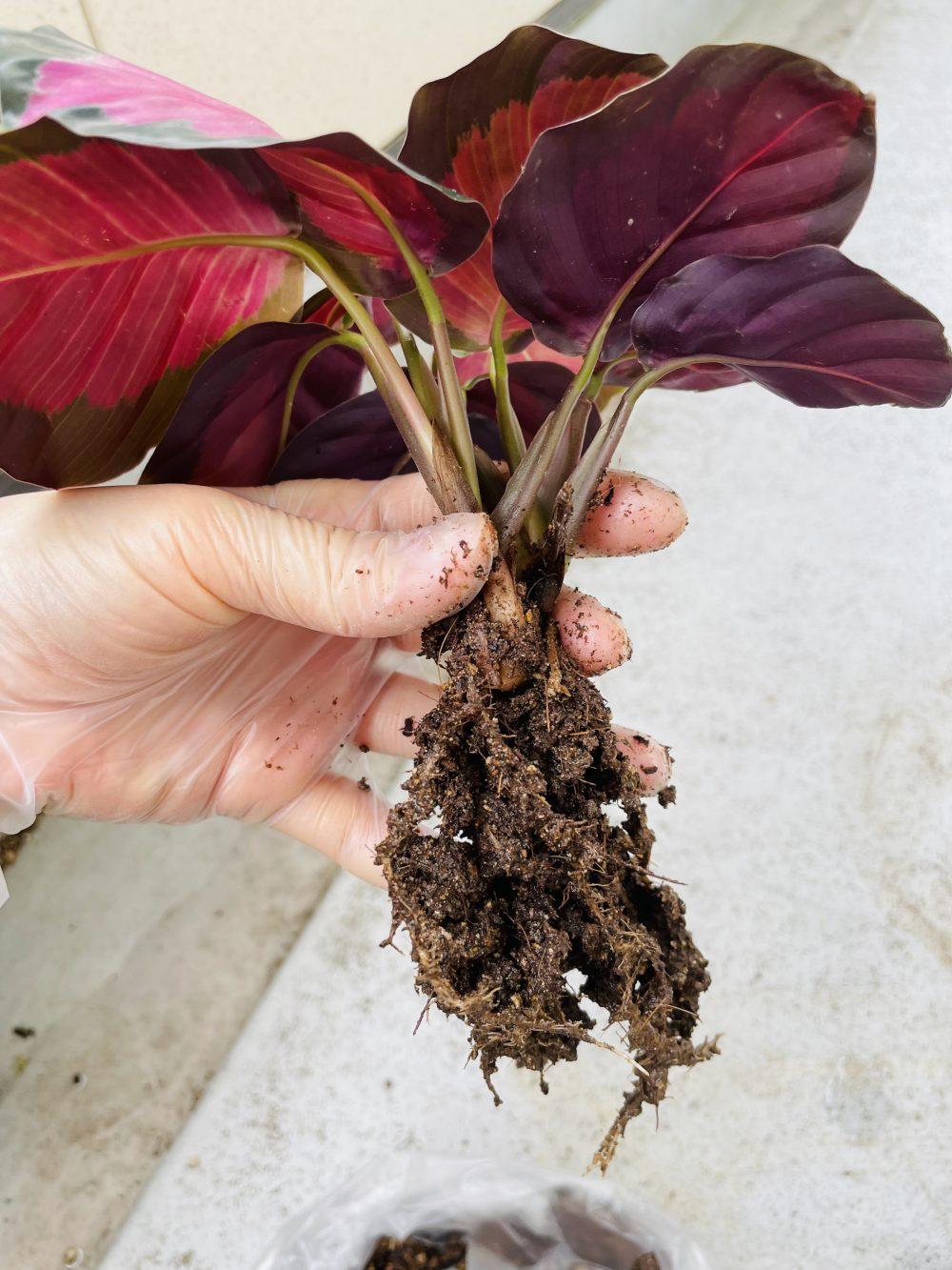カラテアロージー 根ぐされ 植え替え